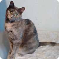 Domestic Shorthair Cat for adoption in Morganton, North Carolina - Julie