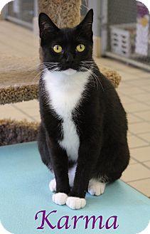 Manx Cat for adoption in Bradenton, Florida - Karma