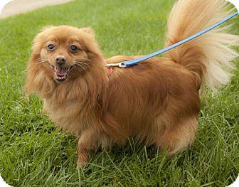 Pomeranian Dog for adoption in Harvard, Illinois - Charlie