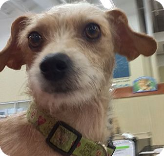 Jack Russell Terrier Mix Dog for adoption in Fort Collins, Colorado - Talia