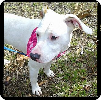 American Pit Bull Terrier/American Bulldog Mix Dog for adoption in Princeton, Kentucky - Roxy