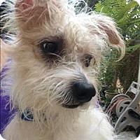 Adopt A Pet :: Mace - Encino, CA