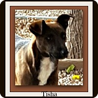 Adopt A Pet :: Tisha - Tombstone, AZ