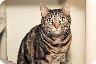 Domestic Shorthair Cat for adoption in Cashiers, North Carolina - Indiana