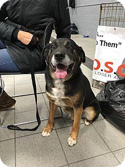 German Shepherd Dog/Labrador Retriever Mix Dog for adoption in Sparta, New Jersey - Rover