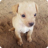 Adopt A Pet :: Beige Female Chi Pup - Smithtown, NY