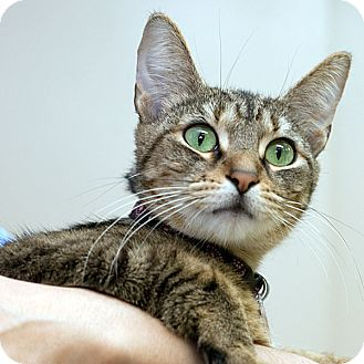 Domestic Shorthair Cat for adoption in Grand Rapids, Michigan - GLIMMER