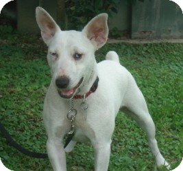 Bull Terrier Puppies For Sale: English Bull terrier puppies /Spud ...