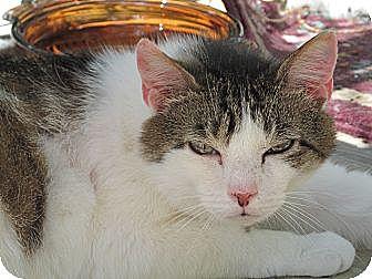 Domestic Shorthair Cat for adoption in Plattekill, New York - Shira