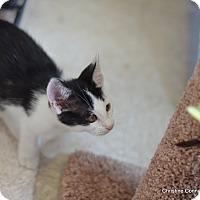 Adopt A Pet :: Felix - Island Park, NY