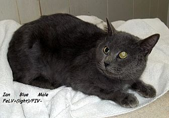 Domestic Mediumhair Cat for adoption in Hazard, Kentucky - Ian