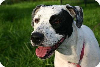 English Setter Mix Dog for adoption in Flushing, Michigan - Dotty