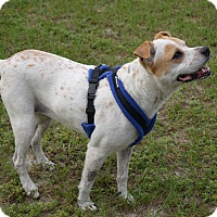 Cattle Dog/American Pit Bull Terrier Mix Dog for adoption in Spring Hill, Florida - Pinky