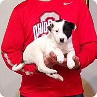 Adopt A Pet :: Lily - New Philadelphia, OH