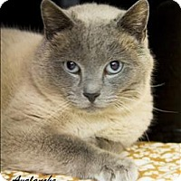 Adopt A Pet :: Avalanche - Sherwood, OR