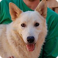 Shepherd (Unknown Type)/Labrador Retriever Mix Dog for adoption in Las Vegas, Nevada - Colton