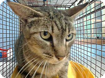 Domestic Shorthair Cat for adoption in San Bernardino, California - URGENT on 8/23 San Bernardino