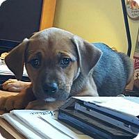 Adopt A Pet :: Akira - Scottsdale, AZ