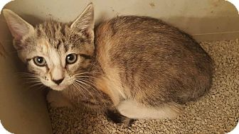 Domestic Shorthair Kitten for adoption in Tucson, Arizona - Becky