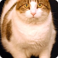 Domestic Shorthair Cat for adoption in Newland, North Carolina - Beethoven