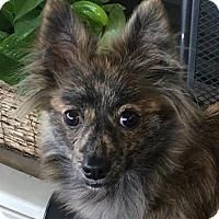 Pomeranian Mix Dog for adoption in McKinney, Texas - Magoo
