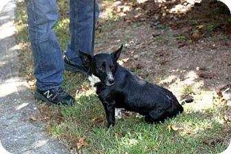 Corgi Mix Dog for adoption in Rowayton, Connecticut - Colin Happy Little Man! Cat-Friendly!