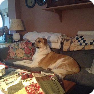 Labrador Retriever/Great Pyrenees Mix Dog for adoption in Hamden, Connecticut - Gus