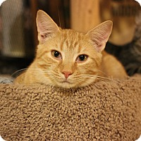 Domestic Shorthair Kitten for adoption in Carlisle, Pennsylvania - Persy