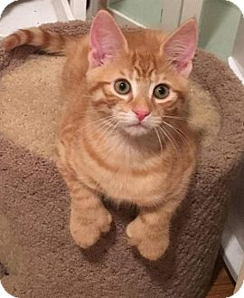 Domestic Shorthair Kitten for adoption in Westwood, New Jersey - Dallas