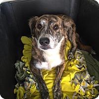 Adopt A Pet :: Huck - Westminster, CA