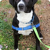 Labrador Retriever/Pit Bull Terrier Mix Dog for adoption in Harrison, New York - Mikey