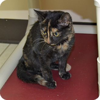 Domestic Shorthair Kitten for adoption in Wheaton, Illinois - Cathy
