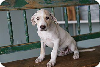 Labrador Retriever/Pit Bull Terrier Mix Puppy for adoption in San Antonio, Texas - Simon