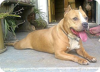 American Staffordshire Terrier/Pit Bull Terrier Mix Dog for adoption in Bellflower, California - Rose