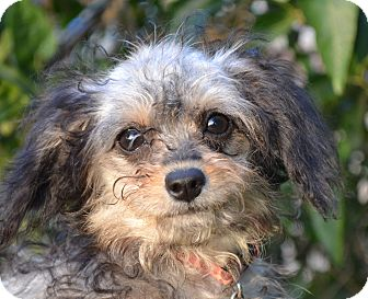 Poodle (Miniature)/Terrier (Unknown Type, Small) Mix Dog for adoption in Simi Valley, California - Reign