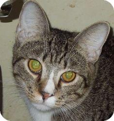 Domestic Shorthair Cat for adoption in Jacksonville, North Carolina - Alfie