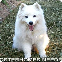 American Eskimo Dog/Spitz (Unknown Type, Medium) Mix Dog for adoption in Downey, California - AMERICAN ESKIMOS-Foster Families Needed!