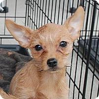 Adopt A Pet :: Petunia - Milford, CT