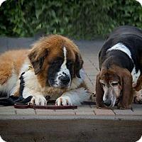 Adopt A Pet :: Brandy & Max - Glendale, AZ