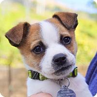 Adopt A Pet :: Pickle von Pomrod - Thousand Oaks, CA