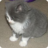 Adopt A Pet :: BAMBAM - Acme, PA