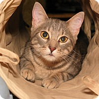 Adopt A Pet :: Misty - Milford, MA