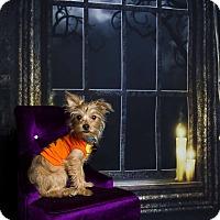 Adopt A Pet :: Ollie - Baton Rouge, LA