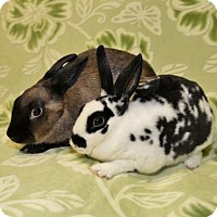 Mini Rex Mix for adoption in Chesterfield, Missouri - Heidi and Gretchen