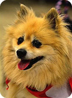 Pomeranian Mix Dog for adoption in Fairfax Station, Virginia - Jinny