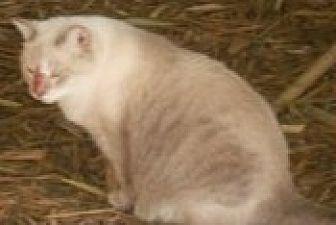 Siamese Cat for adoption in Bonita Springs, Florida - Fiona