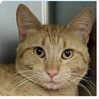 Adopt A Pet :: Acorn - Springdale, AR