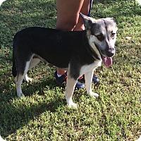 Adopt A Pet :: Amelia - Portland, ME