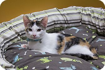 Calico Kitten for adoption in Coppell, Texas - Ginny