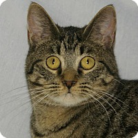 Domestic Shorthair Kitten for adoption in Hawk Point, Missouri - Ladue